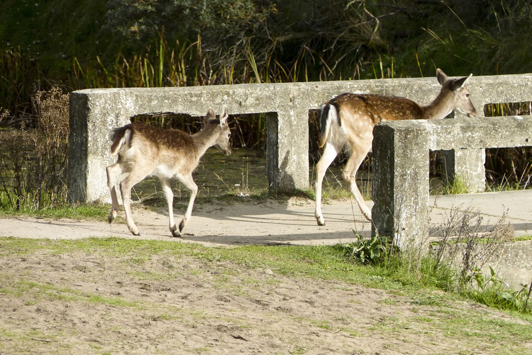 amsterdam water supply dunes 05 fallow deer on bridge
