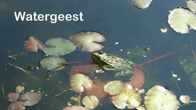 a frog in a pond with the text watergeest