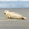 baby seal on the island of Schiermonnikoog